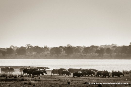 HIppo stampede - Mana Pools National Park - Zimbabwe