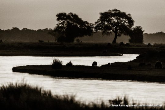 Hippo emerging from Zambezi River - Mana Pools National Park - Zimbabwe