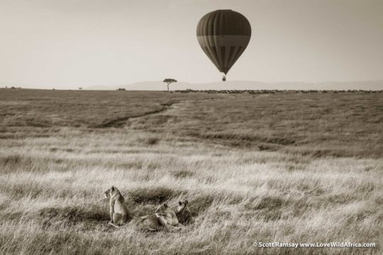 Lions and Hot Air Balloon - Maasai Mara - Kenya