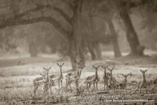 Impalas on floodplain- Mana Pools National Park - Zimbabwe