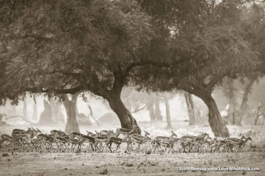 Impala herd and albida forest - Mana Pools National Park - Zimbabwe