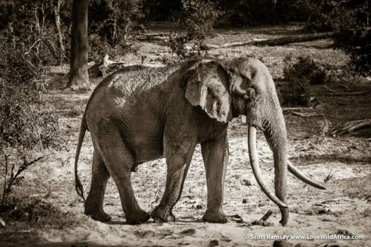 Isilo the big tusker - Tembe Elephant Park - South Africa
