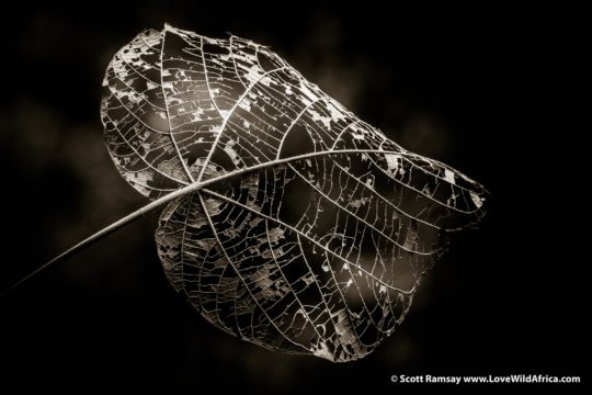 Leaf - Kahuzi-Biega National Park - Democratic Republic of Congo