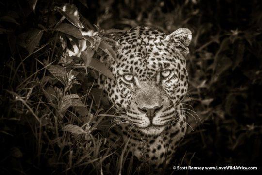 Leopard - Aberdares National Park - Kenya