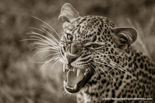 Leopard Cub - Maasai Mara - Kenya