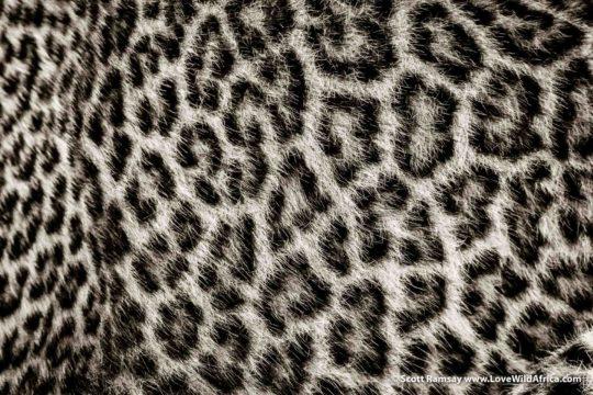 Leopard cub fur - Maasai Mara - Kenya