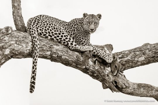 Leopard and impala kill - Kruger National Park - South Africa