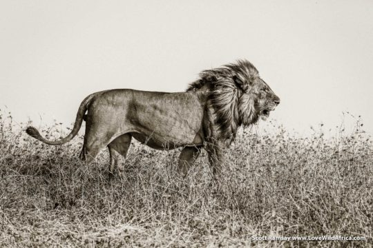 Lion king - Busanga Plains - Kafue National Park - Zambia