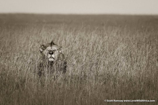 Lion in grass - Maasai Mara - Kenya