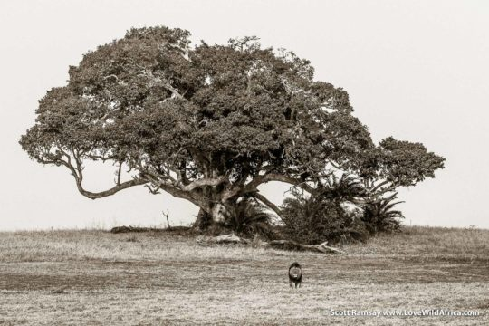 Lion and fig tree - Busanga Plains - Kafue National Park - Zambia