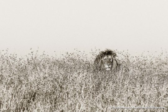Lion in grass - Busanga Plains - Kafue National Park - Zambia