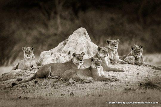 Lion pride - Hwange National Park - Zimbabwe