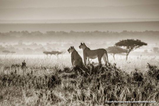 Lionesses - Maasai Mara - Kenya
