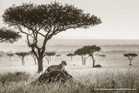 Lioness and balanites tree - Maasai Mara - Kenya