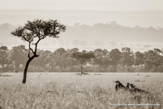 Lions and balanites tree - Maasai Mara - Kenya