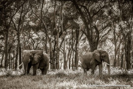 Bull elephants in albida forest - Lower Zambezi National Park - Zambia