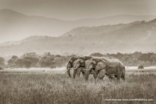 Bull elephants on Jeki Plains - Lower Zambezi National Park - Zambia