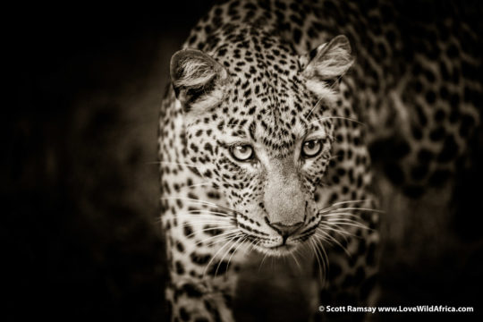 Beautiful leopard near Chiawa - Lower Zambezi National Park - Zambia