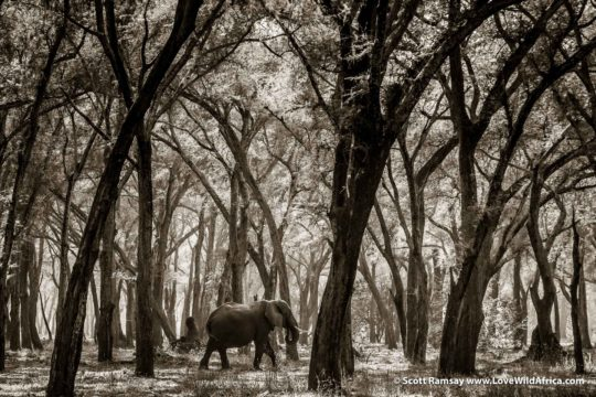 Elephant amble through the albida forest - Lower Zambezi National Park - Zambia