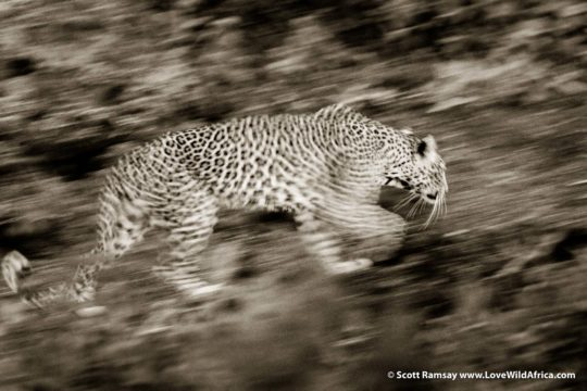 Leopard on the hunt - Lower Zambezi National Park - Zambia