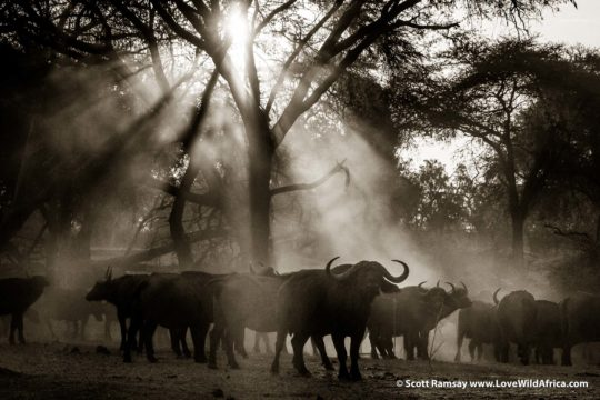 Cape buffalo in dust at dusk - Lower Zambezi National Park - Zambia
