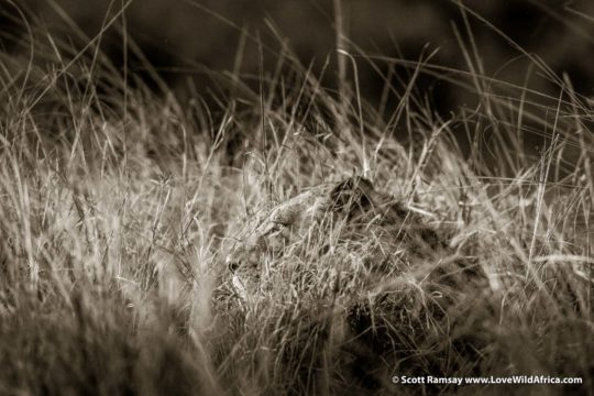 Lion in grass - Lower Zambezi National Park - Zambia