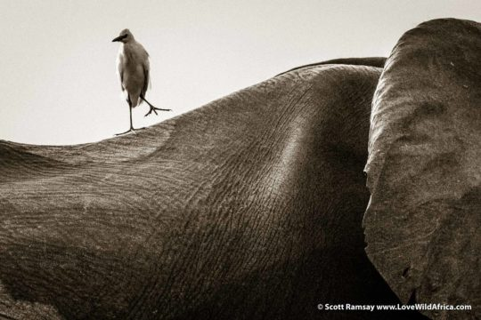 Egret and elephant - Lower Zambezi National Park - Zambia