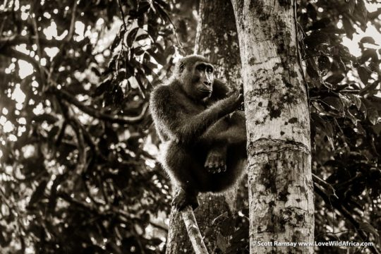 Western lowland gorilla - Odzala-Kokoua National Park - Republic of Congo