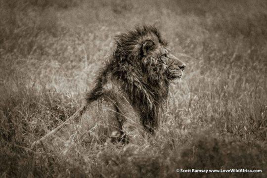 Lion with scar - Maasai Mara - Kenya