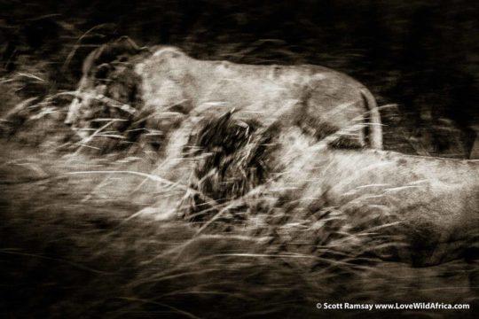 Male lions hunting - Maasai Mara - Kenya