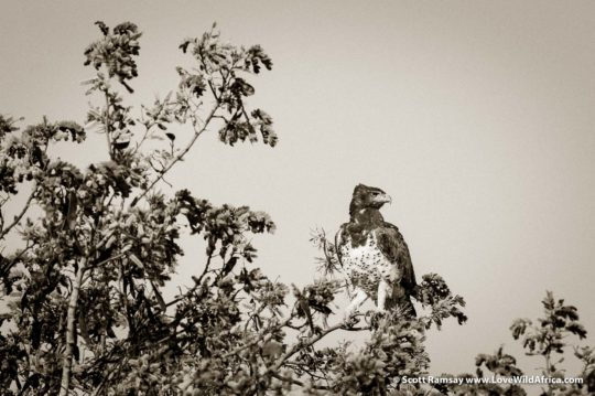 Martial eagle imperious - Hwange National Park - Zimbabwe
