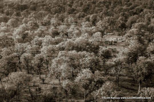Mopane canopy forest - Gonarezhou National Park - Zimbabwe