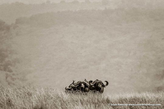 Cape buffalo - Ngorongoro Crater - Tanzania