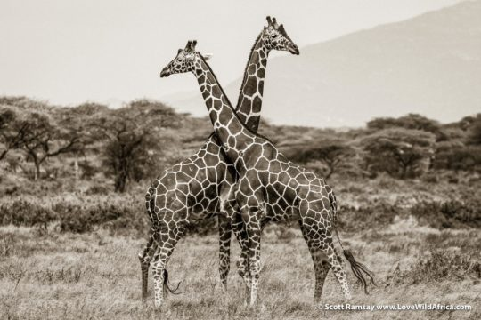 Reticulated Giraffes - Samburuland - Kenya