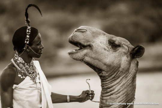 Samburu man and camel - Samburuland - Kenya