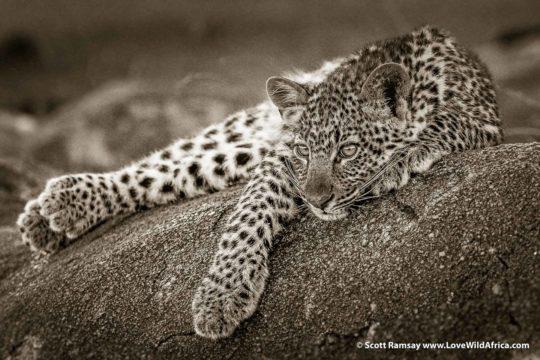 Leopard cub - Serengeti - Tanzania