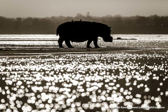 Hippo and Zambezi sparkles - Mana Pools National Park - Zimbabwe