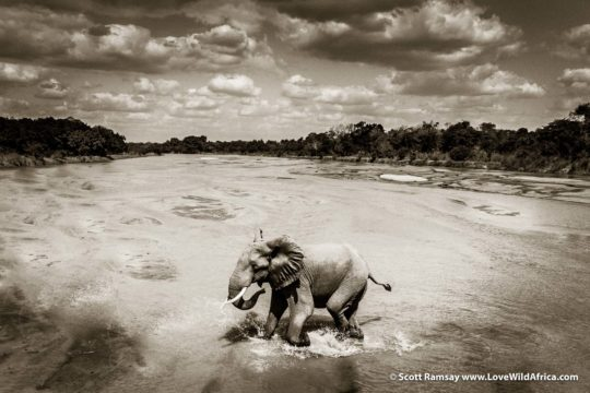 Bull elephant crossing Kapamba River - South Luangwa National Park - Zambia