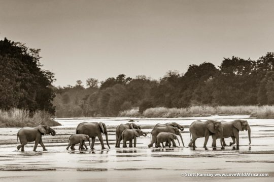 Elephant herd crossing Kapamba River - South Luangwa National Park - Zambia
