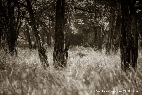 Lioness ghost - South Luangwa National Park - Zambia