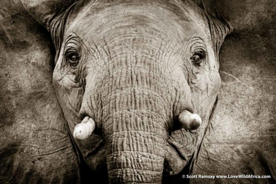 Elephant greeting - South Luangwa National Park - Zambia
