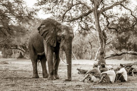 Stretch Ferreira and elephant - Mana Pools National Park - Zimbabwe