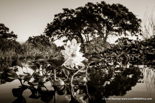 Water hyacinth flower - Mana Pools National Park - Zimbabwe