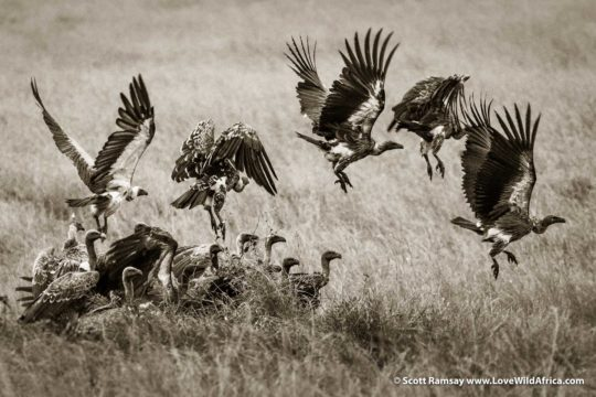 White-backed vultures - Maasai Mara - Kenya