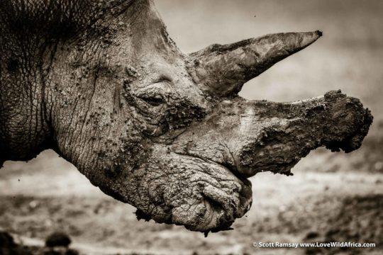 White rhino - Laikipia - Kenya