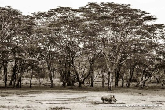 White rhino and fever trees - Laikipia - Kenya