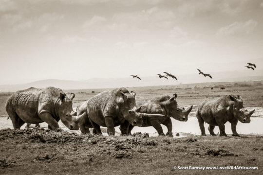 White rhinos - Laikipia - Kenya