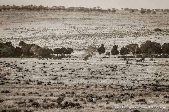Zebras and Wildebeest Migration - Maasai Mara - Kenya