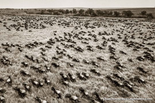 Wildebeest Migration - Maasai Mara - Kenya