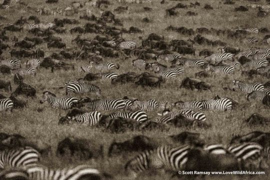 Zebras and Wildebeest Migration - Maasai Mara - Kenya